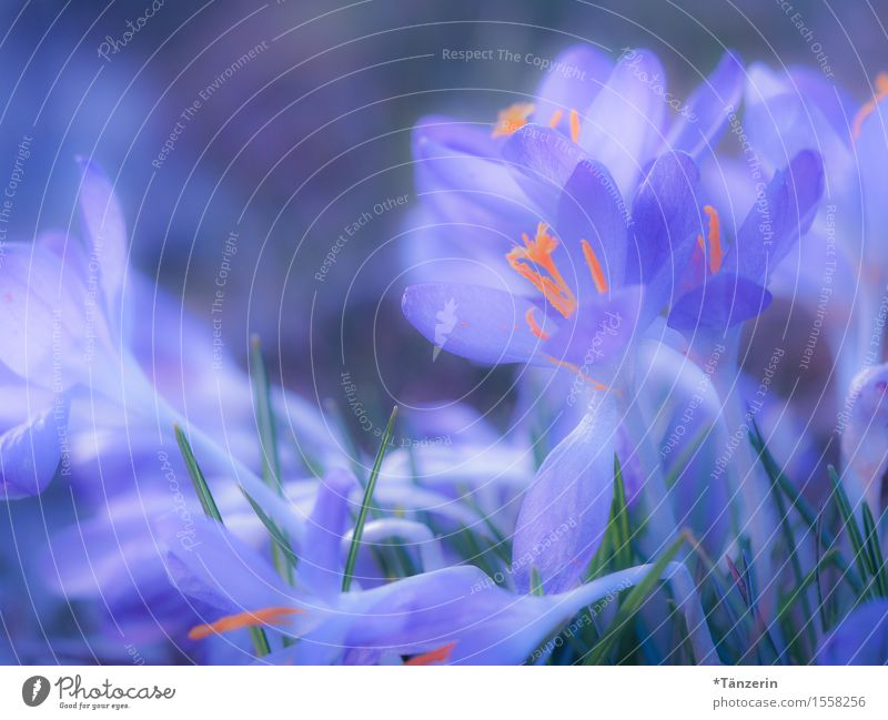 spring! Nature Spring Beautiful weather Plant Blossom Crocus Esthetic Happiness Natural Blue Orange Colour photo Multicoloured Exterior shot