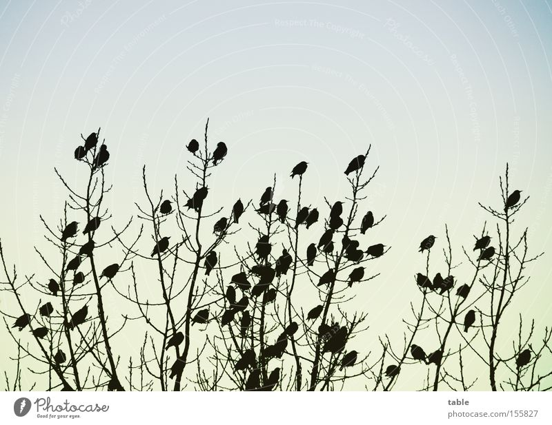 Sky Tree Joy Winter Cold Bird Together Communicate Meeting Sing Crash Assembly Flock of birds Blackbird Accessible