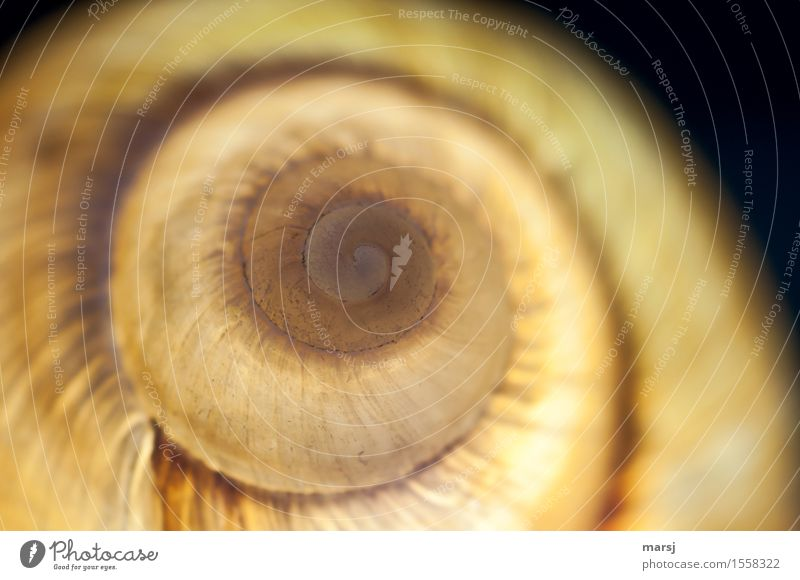 light snail Animal Snail Large garden snail shell 1 Spiral Illuminate Exceptional Dark Authentic Simple Elegant Rotated Colour photo Subdued colour Close-up