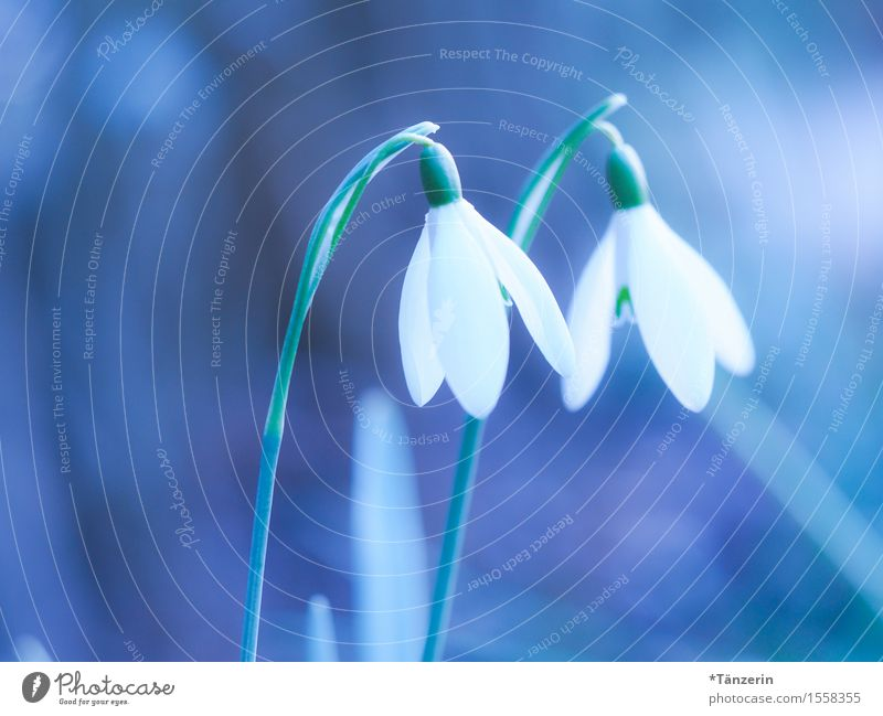 HELLO! Nature Plant Spring Beautiful weather Blossom Snowdrop Happiness Fresh Natural Blue Turquoise White Spring fever Colour photo Subdued colour