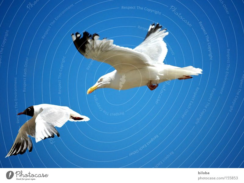 One Photocase gull chases the other! Bird Seagull Hunting Pursue Pursuit race Flying Sky Blue Sea bird Rivalry Fight Area Aviation vindicate