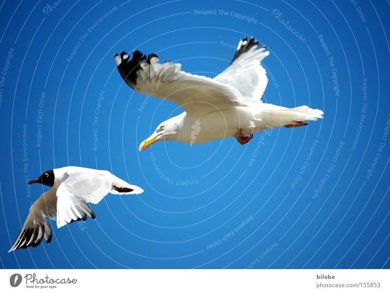 Sky Blue Bird Flying Aviation Hunting Fight Seagull Area Animal Pursue Sea bird Rivalry Pursuit race