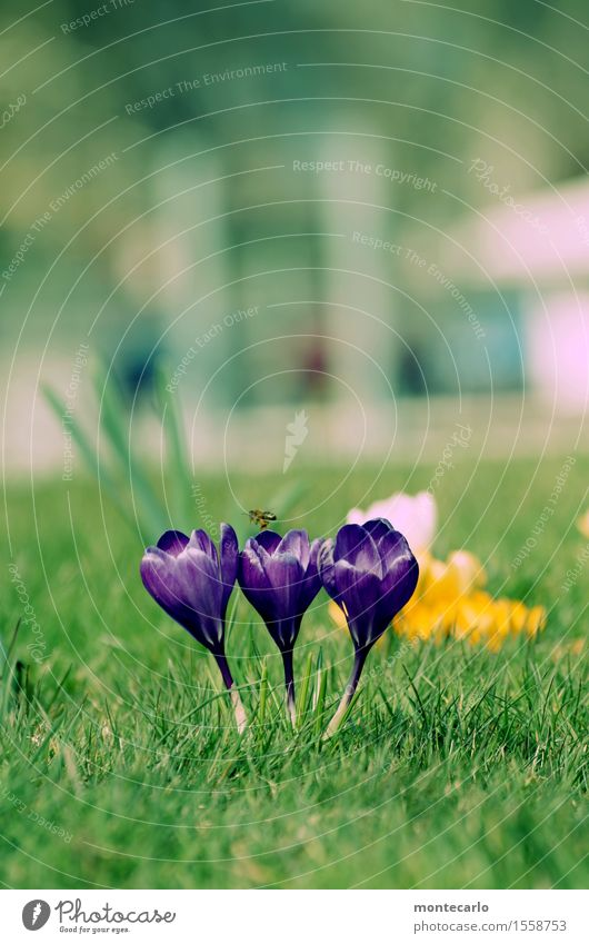 spring Environment Nature Plant Spring Climate Beautiful weather Flower Blossom Foliage plant Wild plant Crocus Meadow Wild animal Bee 1 Animal Fragrance Thin