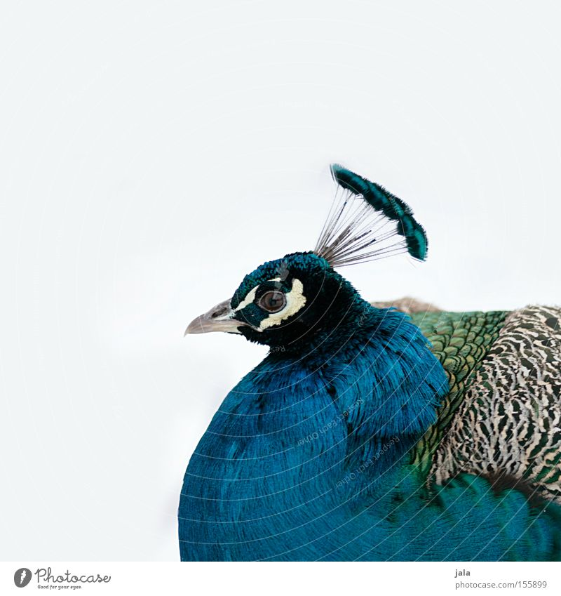 pavo cristatus III Peacock Blue Bird Feather Head Eyes Animal Beautiful Esthetic Snow Pride Looking Beak Winter lilac