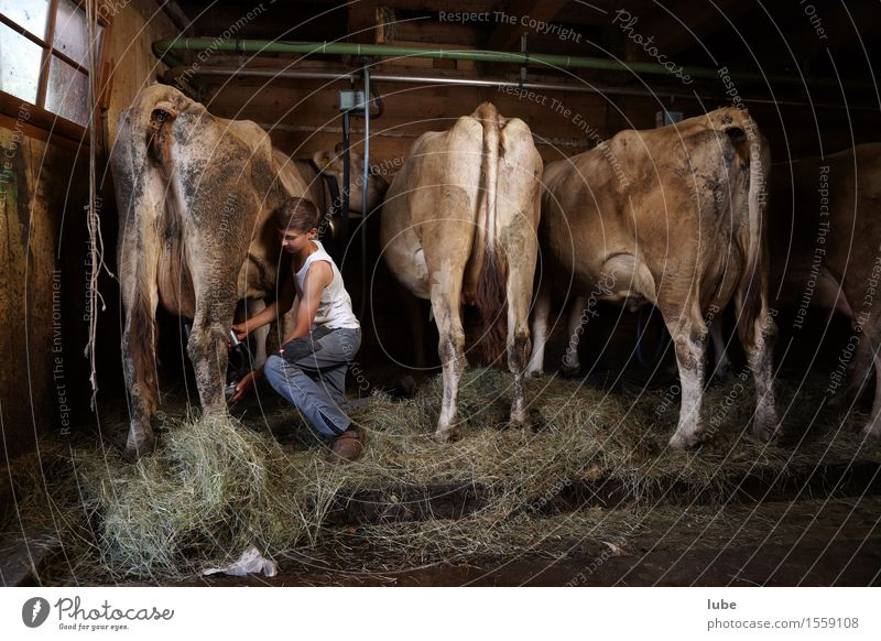 stable work Milk Work and employment Profession Workplace Agriculture Forestry Animal Farm animal Cow Farmer Barn Cowshed Mountain farmer milkers