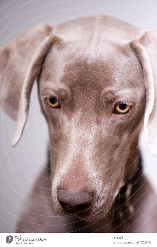 Face Animal Eyes Dog Gastronomy Concentrate Appetite Mammal Sporting event To feed Snout Competition Hypnotic Weimaraner Saliva