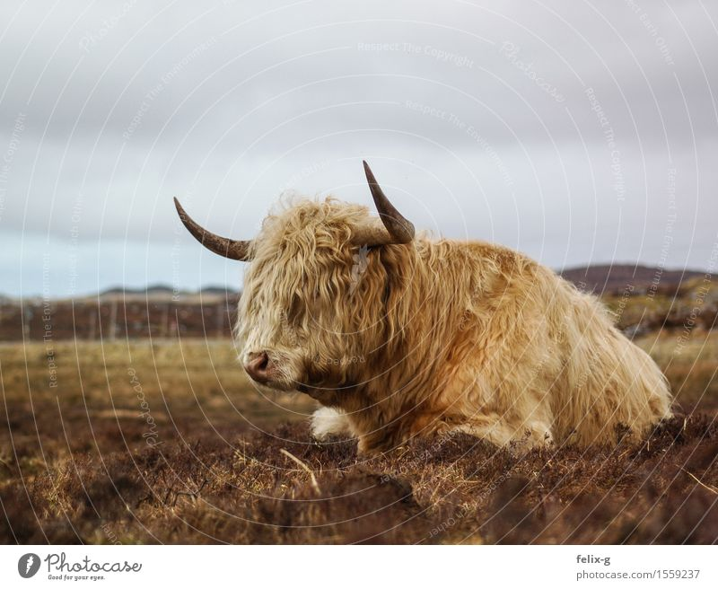Muffled snorting Landscape Sky Clouds Grass Animal Farm animal Cow Pelt Bull Cattle Antlers 1 Lie Threat Strong Gloomy Wild Vice Loneliness Exhaustion Idyll