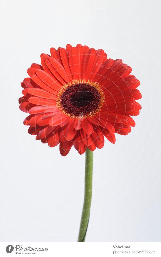 gerbera Plant Flower Blossom Pot plant Green Orange Red White Colour photo Studio shot Close-up Macro (Extreme close-up) Deserted Copy Space left