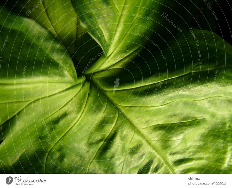 leaf Leaf Plant Botany Nature Vessel Shadow Undulating Green Park South America