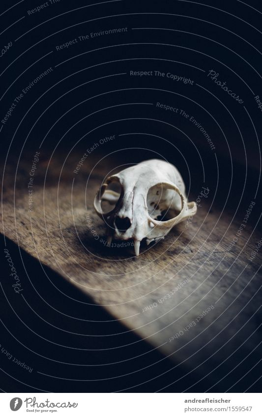 Death as an Aesthete Nature Animal Wild animal 1 Fear Fear of the future Esthetic Mystic Death's head Skeleton Archeology Wooden board Fox Thin Living thing