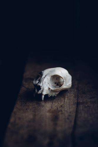 Death as an Aesthete Animal Wild animal Dead animal 1 Authentic Humble Grief Dangerous Stress Fox Death's head Skeleton Window board Mystic Hallowe'en Creepy