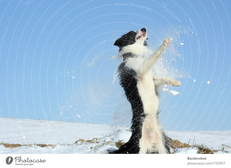 White Joy Winter Black Snow Jump Dog Dance Action Hill Mammal Blue sky