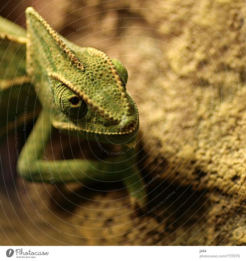 earth lion Detail Chameleon Green Eyes Head Animal Saurians Reptiles Agamidae terraristics crawfish Shallow depth of field