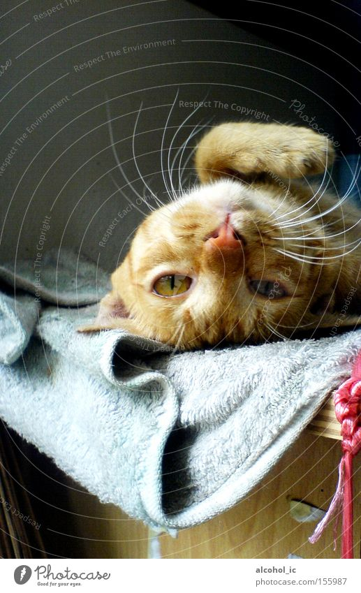 RELAX Resting Cat Bed Wake up Yellow Full Mammal LAZY GIVE UP