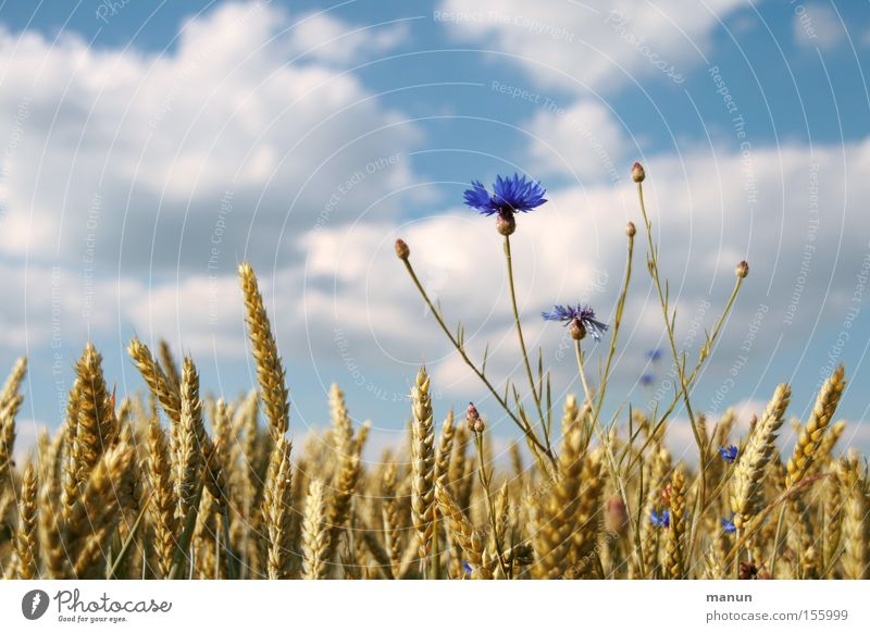 Sky Nature Summer Clouds Spring Healthy Field Natural Food Growth Nutrition Beautiful weather Grain Agriculture Flour Harvest