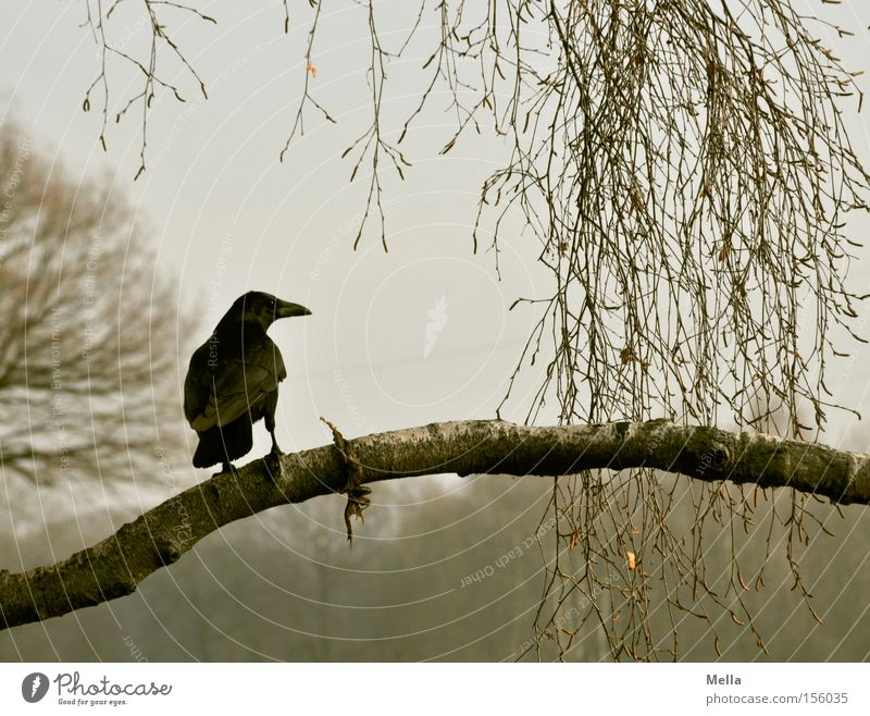 Edgar Environment Nature Plant Tree Animal Bird Crow 1 Crouch Sit Natural Gray Raven birds Branch Twig Branchage Colour photo Subdued colour Exterior shot Day