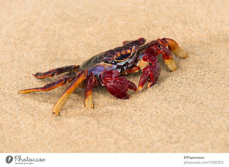 "Cancer on the beach Fishing (Angle) Vacation & Travel Tourism Beach Ocean Nature Animal Sand Coast ""Cancer Crab"" 1 Crawl Threat Maritime Natural Blue Red"