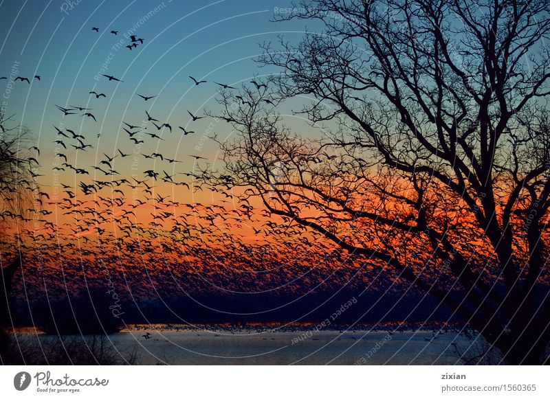 Thousands of Snow Geese migration flying Sky Nature Plant Blue Summer Water Tree Sun Landscape Clouds Animal Environment Spring Natural Wood Bird