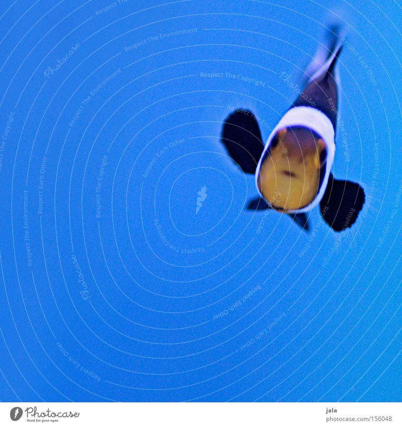 Water Ocean Blue Black Fish Aquarium Animal Sea water Clown fish Anemone Fishes