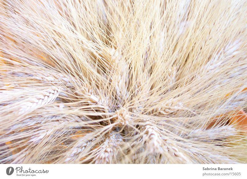 wheat Grain Dried Beige Bright
