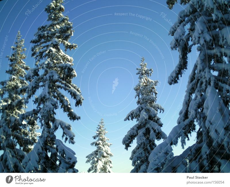 Sky Winter Forest Snow Idyll Copy Space Tall Cloudless sky Treetop Snowscape Coniferous trees Coniferous forest Winter forest Winter mood Winter's day
