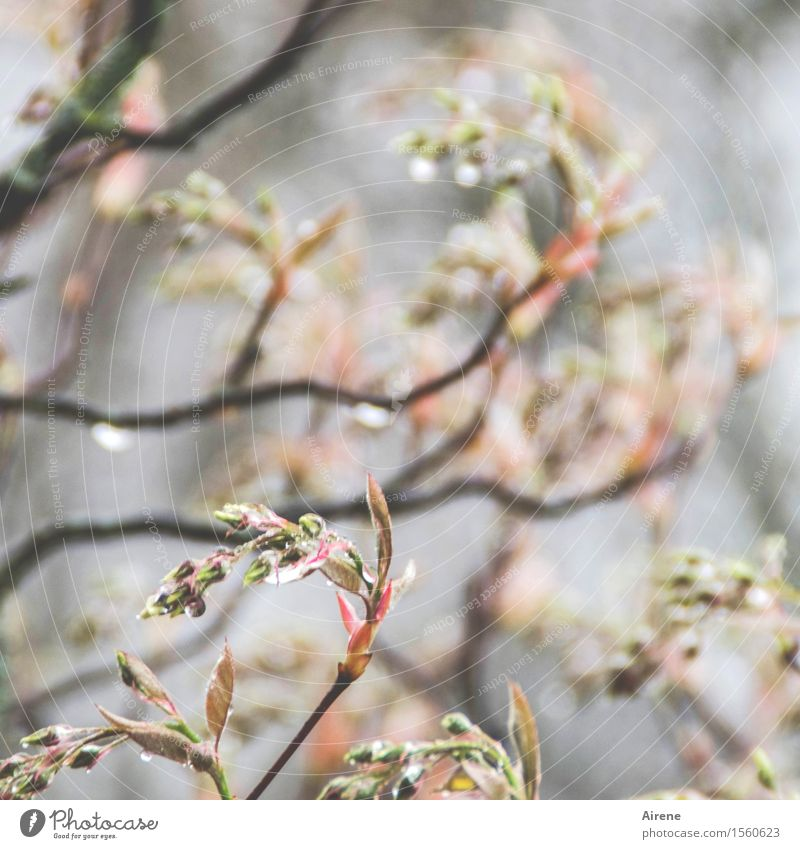 Dropped V Plant Elements Water Drops of water Bad weather Rain Bushes Twigs and branches rock pear Bud Garden Bright Wet Gray Pink Beginning Bright green