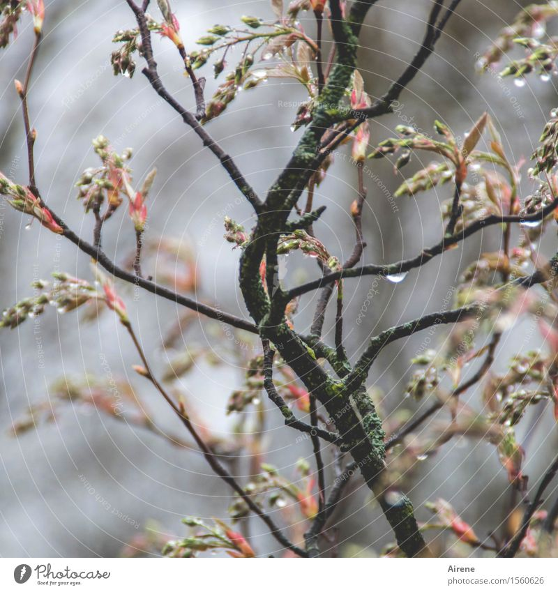 IV dribbles Plant Elements Water Drops of water Spring Bad weather Rain Bushes Bud Twigs and branches rock pear Garden Wet Brown Gray Pink Beginning