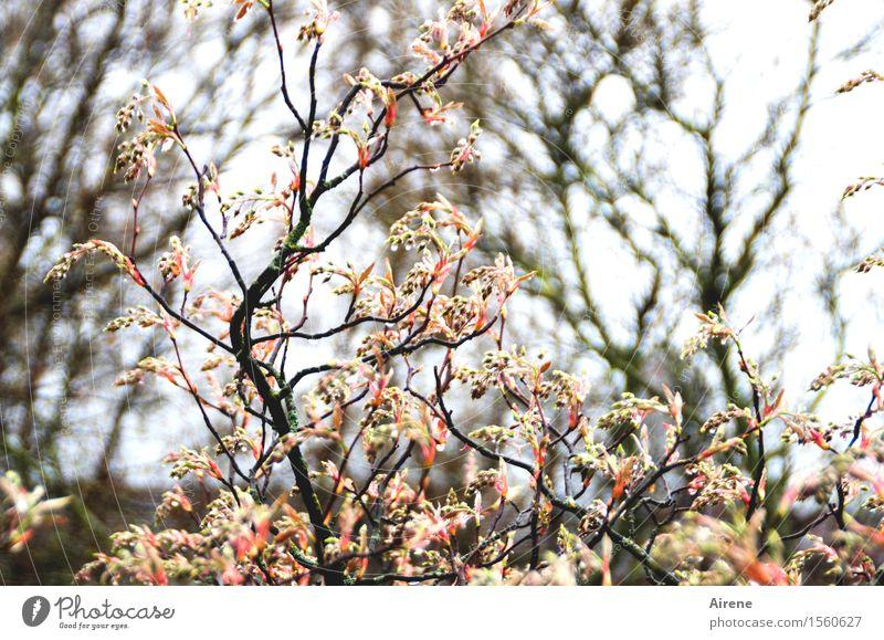 dröppelt III Plant Elements Water Drops of water Spring Bad weather Rain Bushes Leaf Bud rock pear Garden Wet Pink Black White Joie de vivre (Vitality)