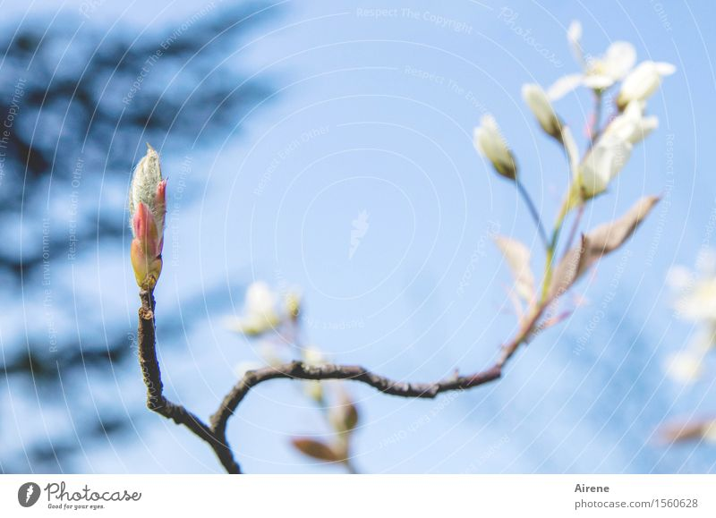 spring greetings Plant Sky Cloudless sky Spring Beautiful weather Bushes Blossom rock pear Blossoming Friendliness Bright Natural Positive Blue White