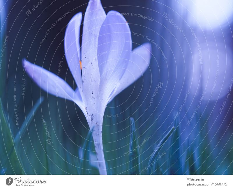 spring awakening Nature Spring Beautiful weather Plant Flower Blossom Crocus Garden Esthetic Fresh Natural Blue White Blur Colour photo Multicoloured