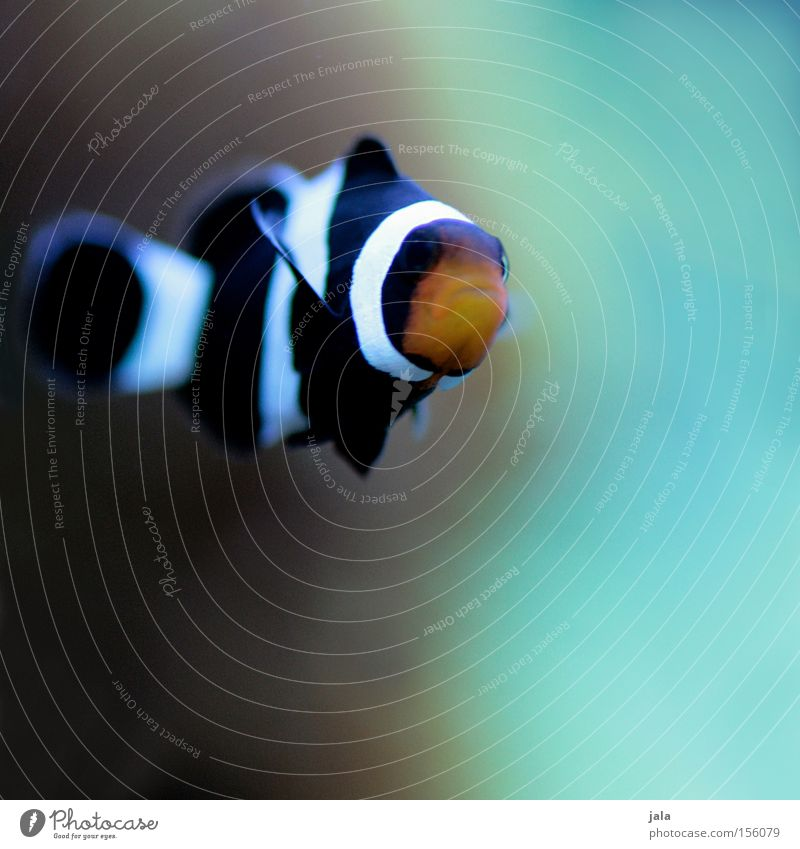 Water Ocean Black Orange Fish Turquoise Aquarium Sea water Clown fish Anemone Fishes