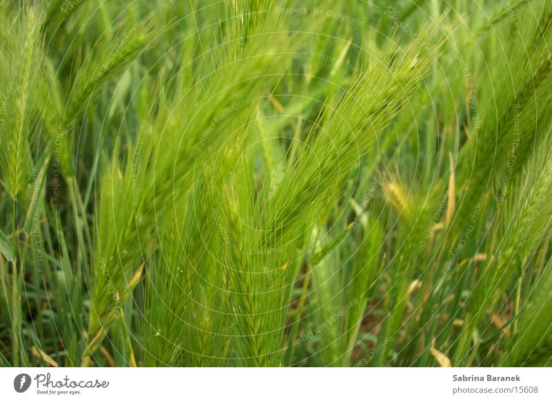 wheat Field Green Grain