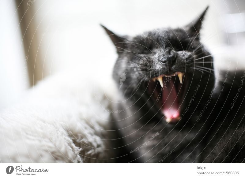 morgaaine Pet Cat Animal face Domestic cat Fang Muzzle 1 Cuddly Emotions Fatigue Comfortable Grouchy Animosity Aggression Menacing Threaten Gesture
