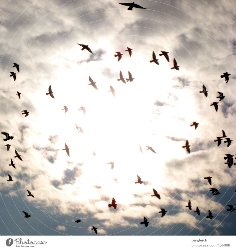 The Swarm Colour photo Exterior shot Deserted Light Silhouette Back-light Worm's-eye view Sky Clouds Bird Pigeon Flock Death Transience Flock of birds