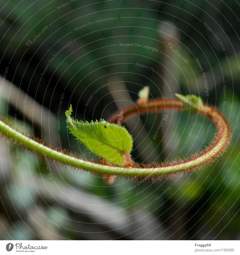 Green Plant Red Summer Leaf Tendril Edible