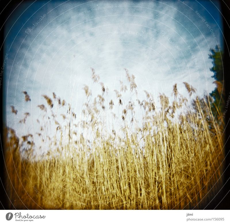 reed forest Common Reed Tree Forest Lake Pond Sky Clouds Holga Lomography Straw Nature Hiking Wind Calm Air Seasons