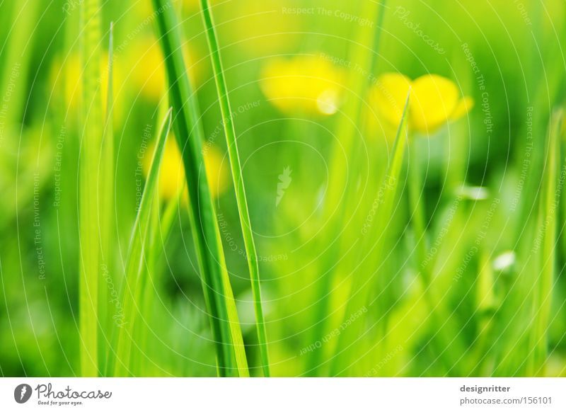 anticipation Spring Warmth Meadow Grass Flower Crowfoot Marsh marigold Green Yellow Life Growth Beginning New start