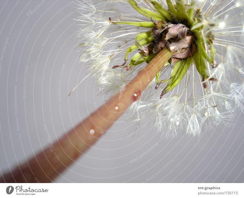 dandelion Dandelion Flower Perspective Under Autumn Rain Grief Partially visible Stalk Blur Sadness
