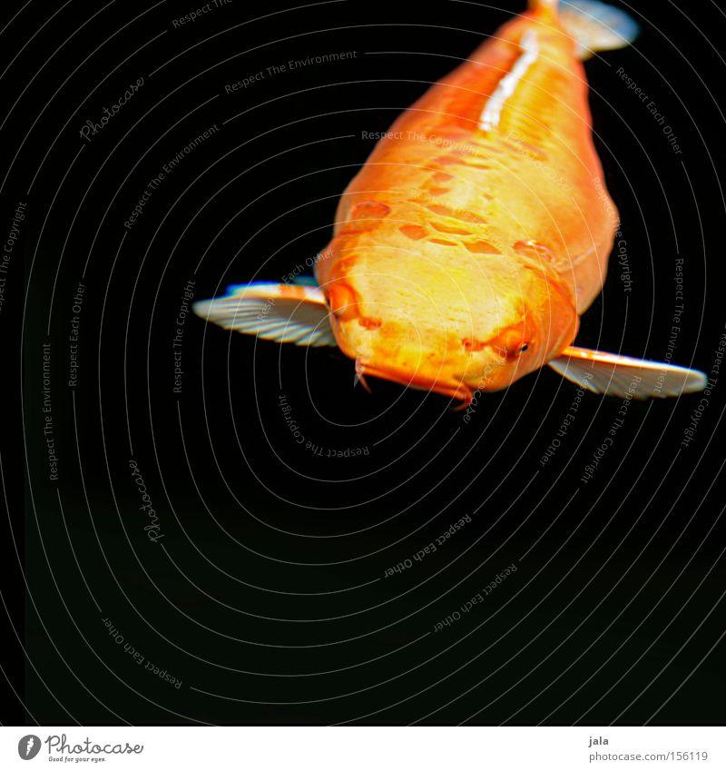 Water Animal Yellow Lake Orange Fish Japan Pond Koi Asia Carp