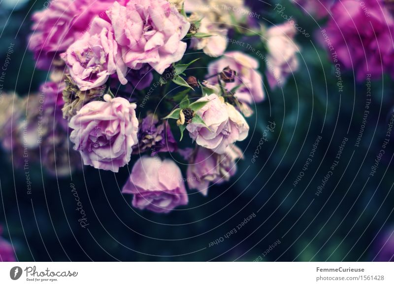 Flower magic. Nature Violet Pink Rose Blossoming Limp Rose leaves Rose blossom Bushes Wedding Colour photo Exterior shot Copy Space right Copy Space bottom Day