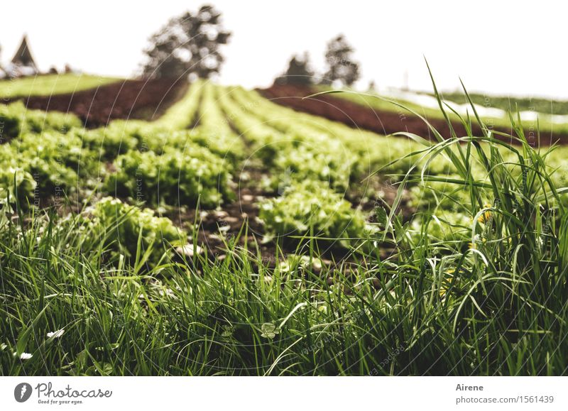 Green Healthy Brown Field Growth Arrangement Planning Infinity Agriculture Vegetable Vegetarian diet Direct Rural Salad Lettuce Forestry