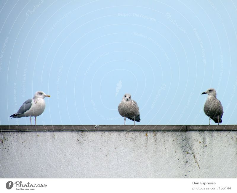 Three Little Birds Seagull Silvery gull Blue Sky 3 Ocean Coast Team Together Middle Outsider Psychological terror Looking Group of animals in the middle