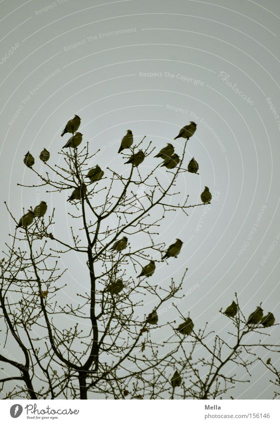 Nature Tree Plant Animal Gray Bird Environment Sit Multiple Gloomy Group of animals Natural Treetop Dreary Flock Twigs and branches