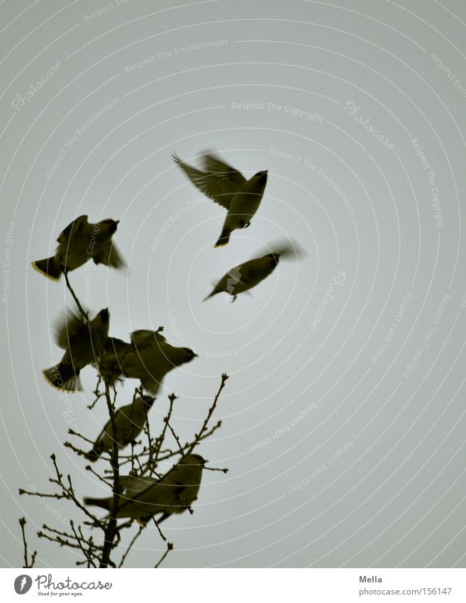 atmosphere of departure Tree Branch Twig Bird Wing Group of animals Flock Flying Free Natural Above Gloomy Gray Freedom Nature Environment Songbirds Departure