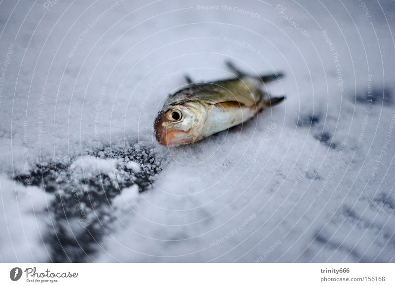 The fish Lake Sentimental Death Fish whisper Ice Snow