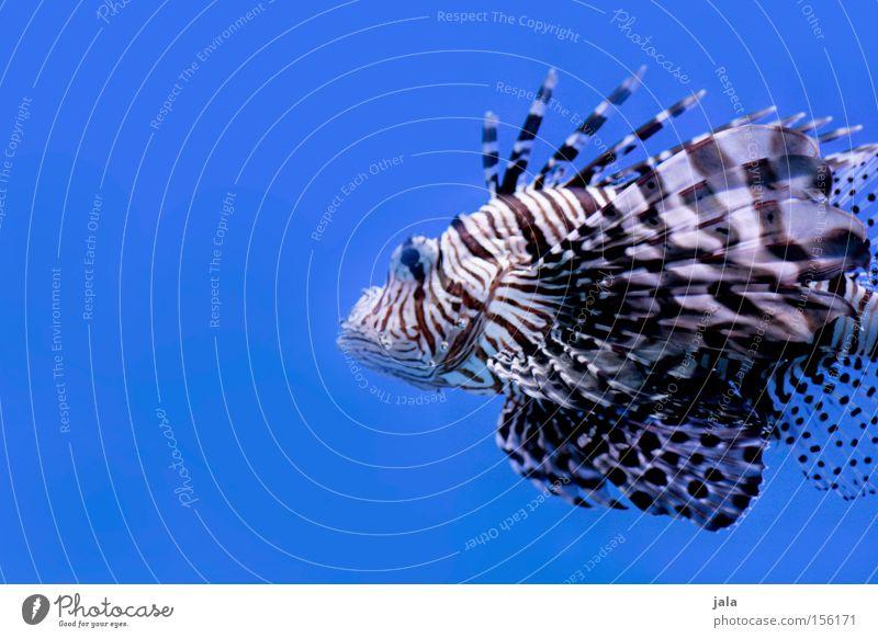 Water Ocean Blue Fish Aquarium Poison Underwater photo Animal Sea water Devil firefish Radial Firefish