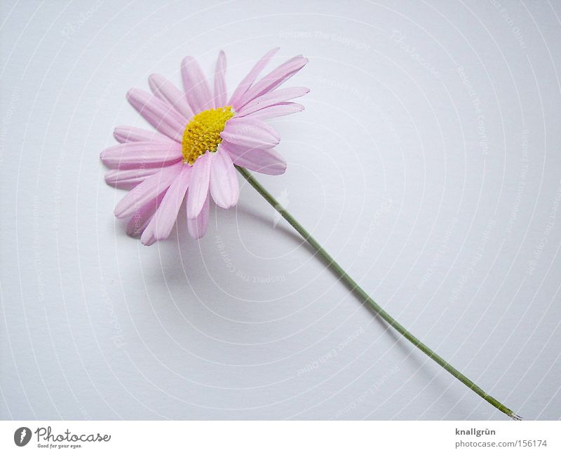 Delicate Flower Plant Stalk Pink Yellow Green White Marguerite Blossoming Spring Beautiful Pink Marguerite herald of spring