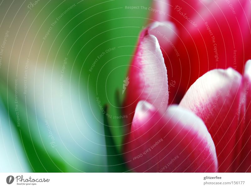 bring me flowers Tulip Flower Blossom Pink Red Green Background picture White Spring Blossom leave Bulb flowers Spring flowering plant Joy Blur