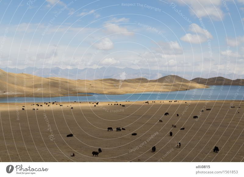 Grazing Yaks at Tulpar Lake in South Kyrgyzstan Vacation & Travel Mountain Nature Landscape Animal Rock Farm animal Herd Adventure panorama Agriculture Pasture
