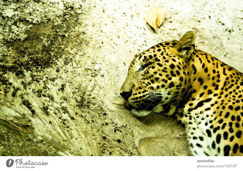 Sleep well, my dear friend! Animal portrait Profile Closed eyes Contentment Relaxation Calm Safari Zoo Wild animal Cat To enjoy Dream Dirty Happy Yellow